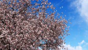 Oavkortad blomning långsam-mo 4K Sakura för körsbärsrött träd stock video