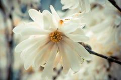 Oavkortad blook för delikat blomma för stjärnamagnolia Royaltyfria Bilder