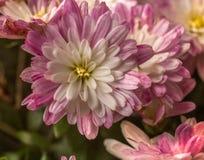 Oavkortad höstblom för purpurfärgad Mum arkivfoton