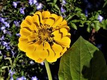 Oavkortad sol för guld- Zinnia Arkivfoto
