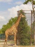 Oavkortad tillväxtställning för härlig giraff i en stor bilaga royaltyfria bilder