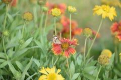 Oavkortad vårblom för nätta färgrika blommor med fjärilen Royaltyfri Fotografi