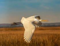 Oavkortat flyg för Great White ägretthäger arkivfoto
