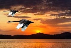 Oavkortat flyg för två svanar på gryning Arkivbild