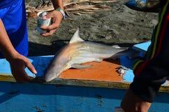 Oavsiktligt fångat behandla som ett barn hajen Arkivbilder