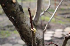 Oavslutat inympa fruktträd i skreva genom att använda klipp closeup arkivbilder