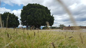 Oax träd Royaltyfria Bilder