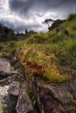 Oaza liszaj, mech i trawy zakrywać andezyt skały, Grodowy Crag, Jeziorny okręg, Cumbria fotografia stock