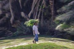 Oazy żniwo w Oman Zdjęcie Royalty Free