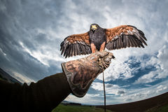 Obłoczny i ciemny niebo z ptakiem zdobycza sokolnika rękawiczka Zdjęcia Stock