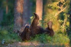 Ob бурого медведя свертывая заднее и играя в финском лесе Стоковые Изображения RF