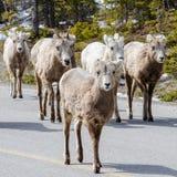 Obława bighorn cakle na drodze obrazy stock