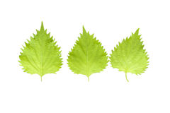Oba leaf Stock Photography