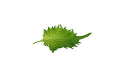 Oba leaf with stem on white Stock Photography