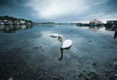 oban κύκνοι Στοκ Φωτογραφίες