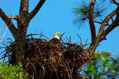 Obbligazione di terra natia - custodire il nido Immagine Stock
