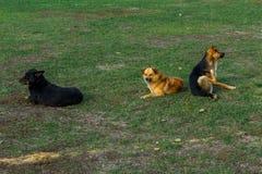 Obdachlose Hunde auf dem Rasen Satz Streuhunde Lizenzfreie Stockbilder