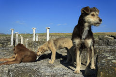 Obdachlose Hunde in der archäologischen Fundstätte Stobi, R macedonia Stockfotos
