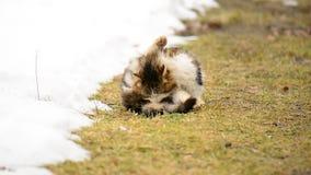 Obdachlose hungrige Katze, die auf dem Gras im Dorf sitzt tiere stock video
