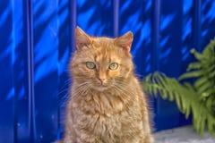 Obdachlose rote Katze, die auf einem blauen Hintergrund sitzt Lizenzfreie Stockbilder