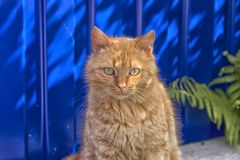 Obdachlose rote Katze, die auf einem blauen Hintergrund sitzt Stockfotografie