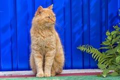 Obdachlose rote Katze, die auf einem blauen Hintergrund sitzt Stockbilder