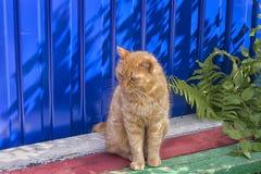 Obdachlose rote Katze, die auf einem blauen Hintergrund sitzt Stockbild