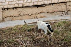 Obdachlose schwarze weiße Katze nahe dem Busch lizenzfreies stockfoto