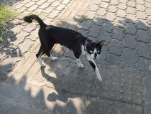 Obdachlose Schwarzweiss-Katze auf Bürgersteig stockfotografie