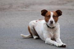 Obdachloser aufmerksamer Hund, der nach vorn schaut Lizenzfreies Stockbild