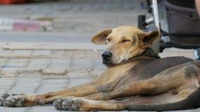Obdachloser braun-schwarzer Hund liegt auf Straße in Thailand stock video footage