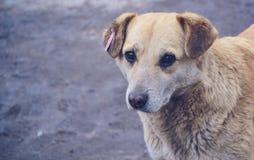 Obdachloser Hund auf der Straße in der Stadt Ukraine stockbilder
