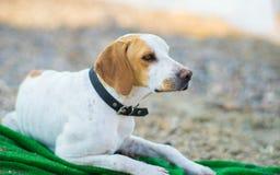 Obdachloser Hund auf Strand Lizenzfreies Stockfoto