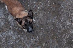 Obdachloser Hund, der oben schaut Stockbild