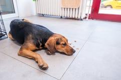 Obdachloser Hund der schönen Jagd angenommen und von der Straße genommen lizenzfreie stockfotografie