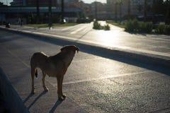 Obdachloser Hund, der zurück in Richtung des Sonnenaufgangs blickt Lizenzfreies Stockfoto