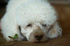 Obdachloser Pudelhund Lizenzfreies Stockbild