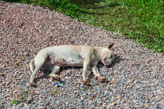Obdachloses weißes müdes Hundeschlafen Lizenzfreies Stockbild