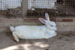 Obdarty biały królika lying on the beach na podłodze zdjęcia royalty free