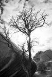 Obdarty drzewo Obrazy Royalty Free