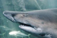 Obdarty zębu rekin zdjęcia stock