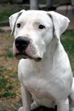 Obediência do cão Imagem de Stock Royalty Free
