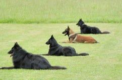 Obedience. Practice with four belgian shepherd Stock Photos