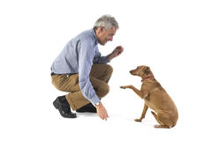 Obedience. Training obedience by the little brown dog Royalty Free Stock Photos