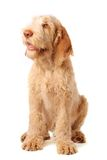 Obedience. Gorgeous italian spinone puppy being very obedient royalty free stock photos