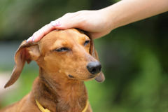 Obedience dog. With master hand Stock Photography