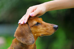 Obedience dog. Obedience brown dachshund dog touch by hand Royalty Free Stock Image
