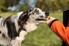 OBEDIENCE DOG CONCEPT. BORDER COLLIE PUPPY BROUGHT THE TENNIS BALL HOSTESS AND LAYS DOWN OWNER HAND stock photos