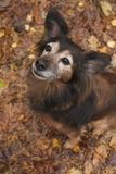 Obedience dog n the autumn Royalty Free Stock Photography