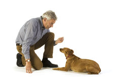 Obedience lay down. Training obedience command lay down by the dog Stock Photography